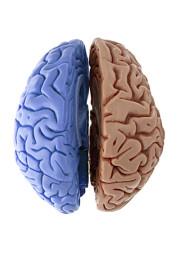 deux lobes d'un cerveau humain colorés différemment